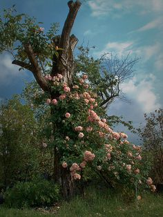 Tree with old roses.