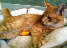 Cat ready for adoption: Domestic Short Hair / Mixed (short coat) named Truman in Baltimore, MD