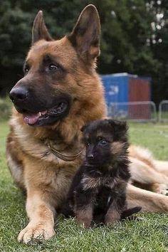 German shepherd and pup pup