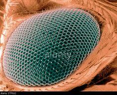 Scanning electron microscope image of an eye on a fruit fly. © Scott Camazine / Alamy