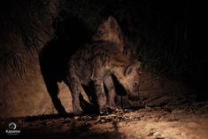 """Of all the African animals, it seems the poor spotted Hyena has the worst reputation. Various films, like Disney's The Lion King, and a place in the """"Ugly 5"""" have only made this worse. One of the common defamations is that they are scavengers, stealing most of their food from more honourable species like [...] African Animals, African Safari, Play Fighting, Look Back At Me, 10 Month Olds, Game Reserve, Wild Dogs, Still Standing, Hyena"""