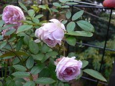 'Clotilde Soupert ' Rose Photo