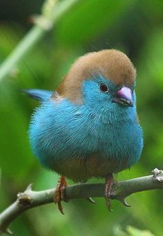 Blue waxbill, aka blue-breasted cordon-bleu. A type of finch found in southern Africa. Pretty little birdie!