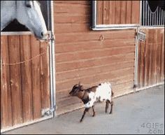 For animated GIFs, Goat and horse BFF [video]