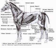 musculos dorsales laterales equinos - Buscar con Google