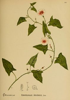 n678_w1150 | Flickr - Photo Sharing!  album: American medicinal plants