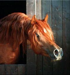 horse El Thay Mameluk EAO (Arabian thoroughbred, 1988, from Ibn Nazeema EAO)