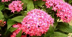 Want delightful flowers in hot summer ? Grow Pentas indoors in a pot - Plant Talk - NurseryLive Wikipedia