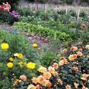 Associer fleurs et légumes au potager