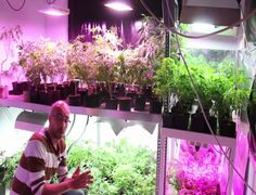 Growing your own cannabis can save you a lot of money.