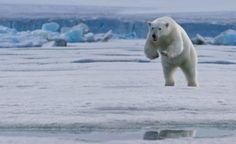 Polar bear in action #AuroraExpeditions