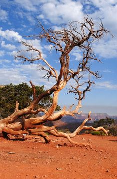 DEAD TREE BY THE KAIBAB TRAIL – GRAND CANYON NATIONAL PARK, ARIZONA