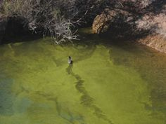 The blue-green algae, which has become more prevalent on Lake Havasu in recent years, is potentially toxic and has been known to kill wildlife like ducks that ingest it and, in some cases, in short periods of time, according to research from South Dakota State University, a state that has seen the algae in some of its bodies of water.