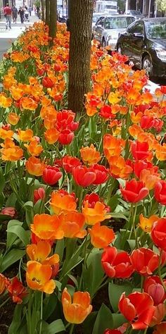 Beautiful tulips by anita bell.  What an awesome way to beautify a town.