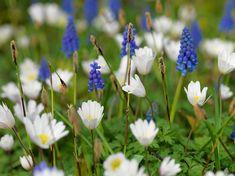 De witte anemoon combineert mooi met blauwe druifjes.