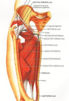 Adductor muscle group