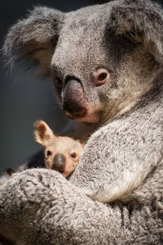 Baby Koala Noses Its Way Out of the Pouch at Planckendael