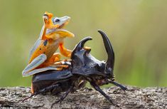 The frog riding on top of the beetle; Frog rides a beetle like a rodeo cowboy on a bull, Sambas, Ind. - Hendy MP/Solent News/REX Animals And Pets, Funny Animals, Cute Animals, Lazy Animals, Wild Animals, Animals Planet, Animals Photos, Nature Animals, Animal Memes