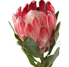 Bring tropical beauty to any event with our protea pincushion flowers! At wholesale pricing, our vibrant protea plants for sale can be bought in bulk. Seasonal Flowers, All Flowers, Flowers Nature, Tropical Flowers, Amazing Flowers, Wedding Flowers, Protea Flower, Star Of Bethlehem, Flowers Delivered