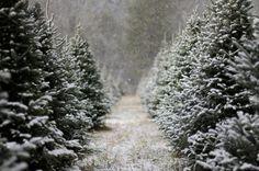 Icey Christmas Trees