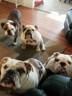 "❤  Did someone say ""breakfast!""  ❤  Posted on Chicago English Bulldog Rescue, Inc."