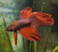 Por qué se inflan los peces betta #peces #pez #pezbetta