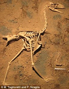 The fossilised skeleton (above) was found in a cliff on a beach south of Mar del Plata cit...