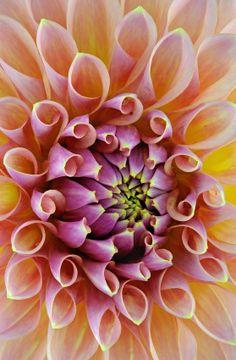Dahlia (Asteraceae) ~ © Kev Vincent