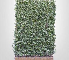 Kant en Klaar haag Kardinaalsmuts - Scherm Euonymus fort. 'Coloratus' How To Dry Basil, Calm, Herbs, Diy Crafts, Gardening, Flowers, Gardens, Plants, Make Your Own