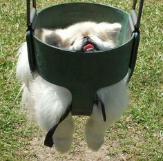 Pomeranian in swing