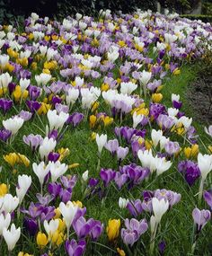 cacfaa8cd14c LARGE FLOWERING CROCUS MIXTURE White