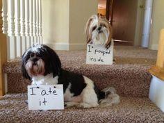 anim, dog shame, dogs, dog sayings, funni, shihtzu, shih tzu, mornings, latest trends