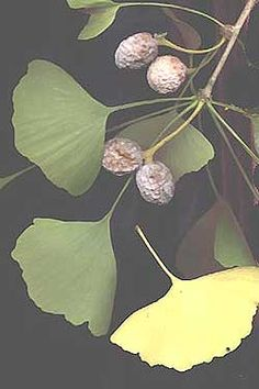 Ginkgo leaves, fruits and stem