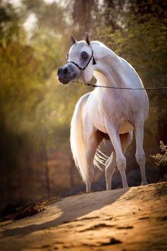 Caballos árabes blancos