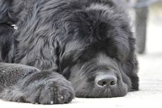 Gerald, a 165-lb. Newfoundland dog, pictured at the recent Winterfest in Barrie. (MARK WANZEL/Postmedia Network)