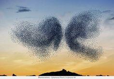 Assistez au vol féerique et poétique de milliers d'oiseaux au crépuscule