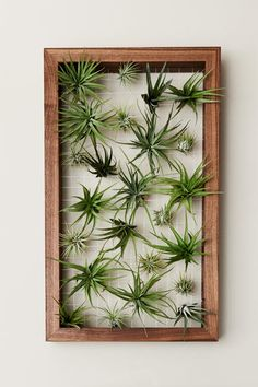 frame with air plants House Plants Decor, Plant Decor, Garden Plants, Hanging Air Plants, Indoor Plants, Air Plant Display, Foliage Plants, Plant Wall, Flowers Nature