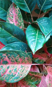 Aglaonema houseplants