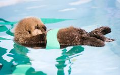 A baby otter is cared for at a rescue centre after it became separated from its mother and washed up on the shore. The sea otter pup was discovered alone on a beach in Monterey, California, USA and was taken to the Monterey Bay Aquarium Sea Otter Program.