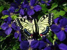 Papilio Machaon Amigurumi Pattern