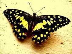 ButterflY ! by Manjusha Palaya on 500px