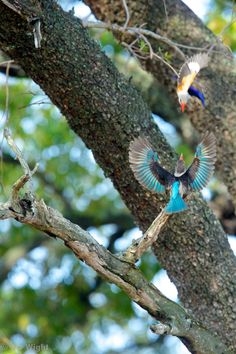 Gray-headed kingfisher flew into the frame as I was snapping the brown hooded kingfisher! That's just nuts. By NJ Wight
