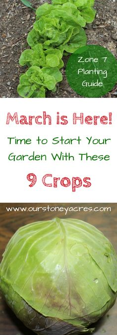 #2 - March Planting Guide for Zone 7.  In Zone 7, we're officially dreaming of spring. We're starting seedlings indoors, organizing our gardening tools and giving the garden beds a final tilling. Even though it's still too cold for the plants that typically come to mind when we talk about our gardens, it's a perfect opportunity to lay in a crop of cool weather vegetables.