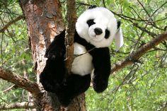 Pandakarhu - Kananlento/Osuuskunta Orrella Panda Bear, Animals, Animales, Animaux, Panda, Animal, Animais, Pandas