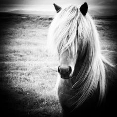 i want to see these beautiful ponies in real life! Icelandic Horse, Real Life, Pony, Horses, Iceland Beauty, Animals, Gypsy, Beautiful, Instagram