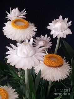 ✯ White Straw Flowers