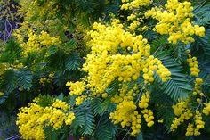 Un albero al mese: Acacia dealbata è l'albero di Marzo