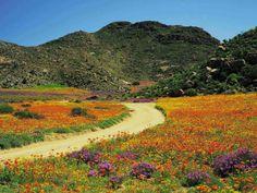 Namaqualand  in Springtime