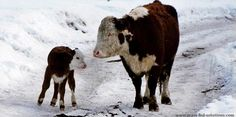 Learn how to choose the best calving date for raising cattle to match nutritional requirements to pasture availability.
