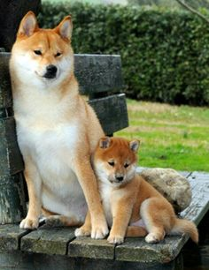 shiba inus resting, mommy and baby Japanese Dog Breeds, Japanese Dogs, Shiba Puppy, Akita Dog, Beautiful Dogs, Animals Beautiful, Chien Shiba Inu, Baby Animals, Cute Animals